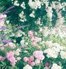 あなたにはどの薔薇が相応しい?色別、薔薇の花言葉